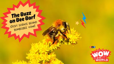 Cover art for The Buzz on Bee Barf! Sticky Science Behind Bumblebee Vomit